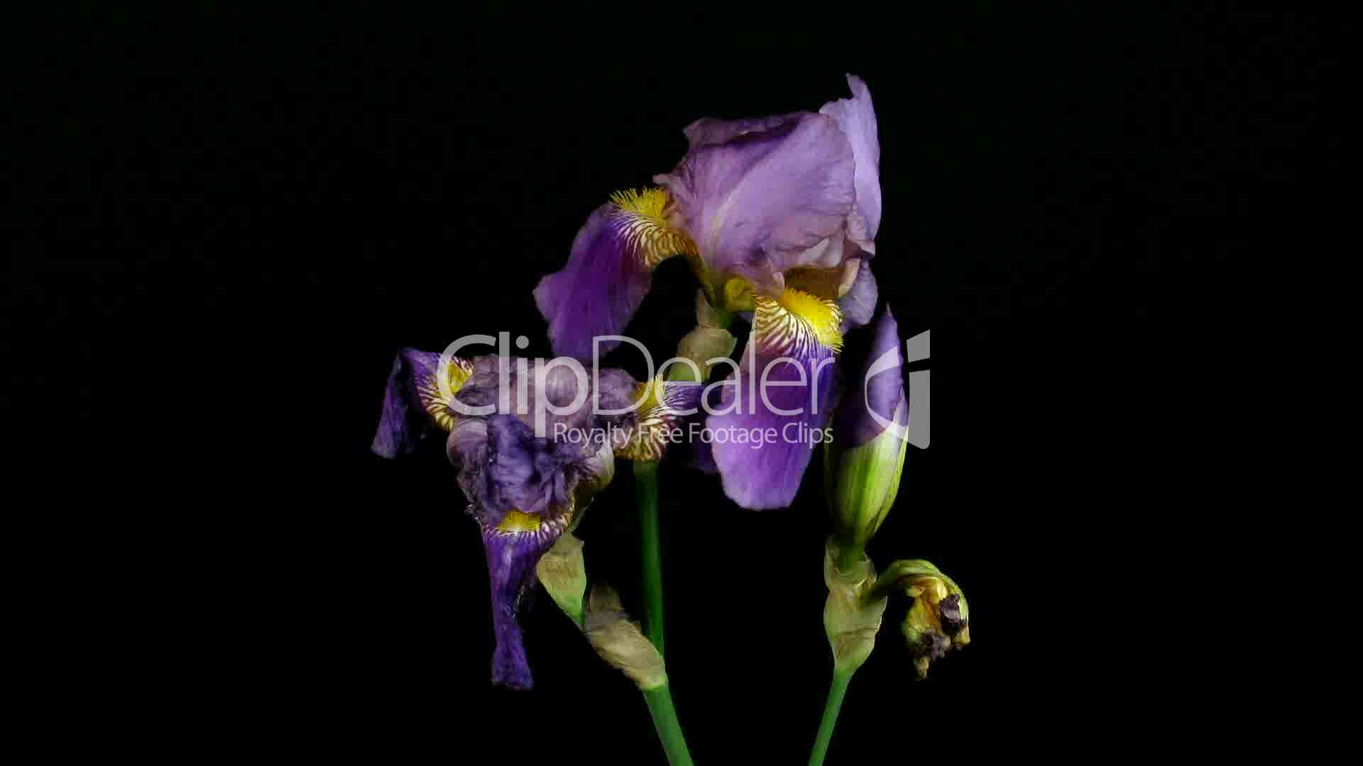 zeitraffer des wachsenden blaue iris blume 4 royalty free video and stock footage. Black Bedroom Furniture Sets. Home Design Ideas