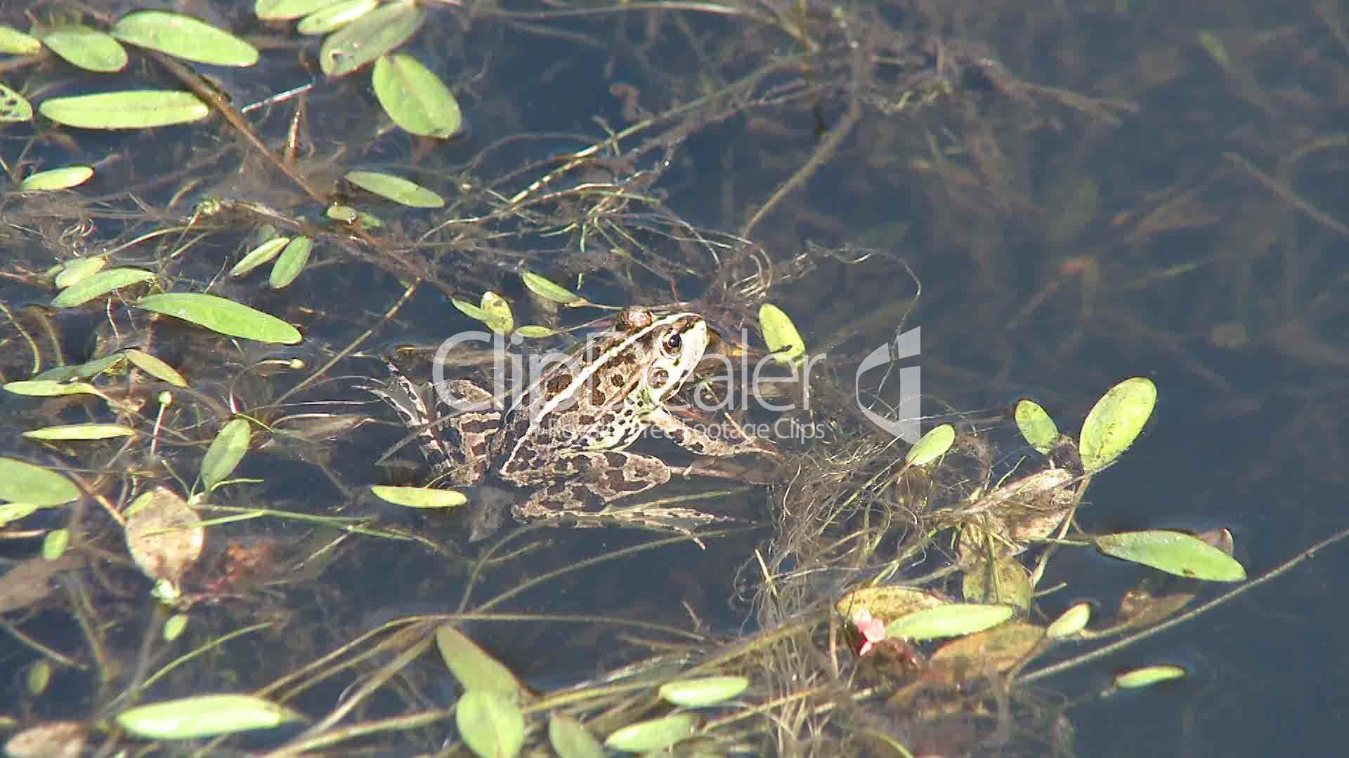 Frog on pond royalty free video and stock footage for Pond dealers