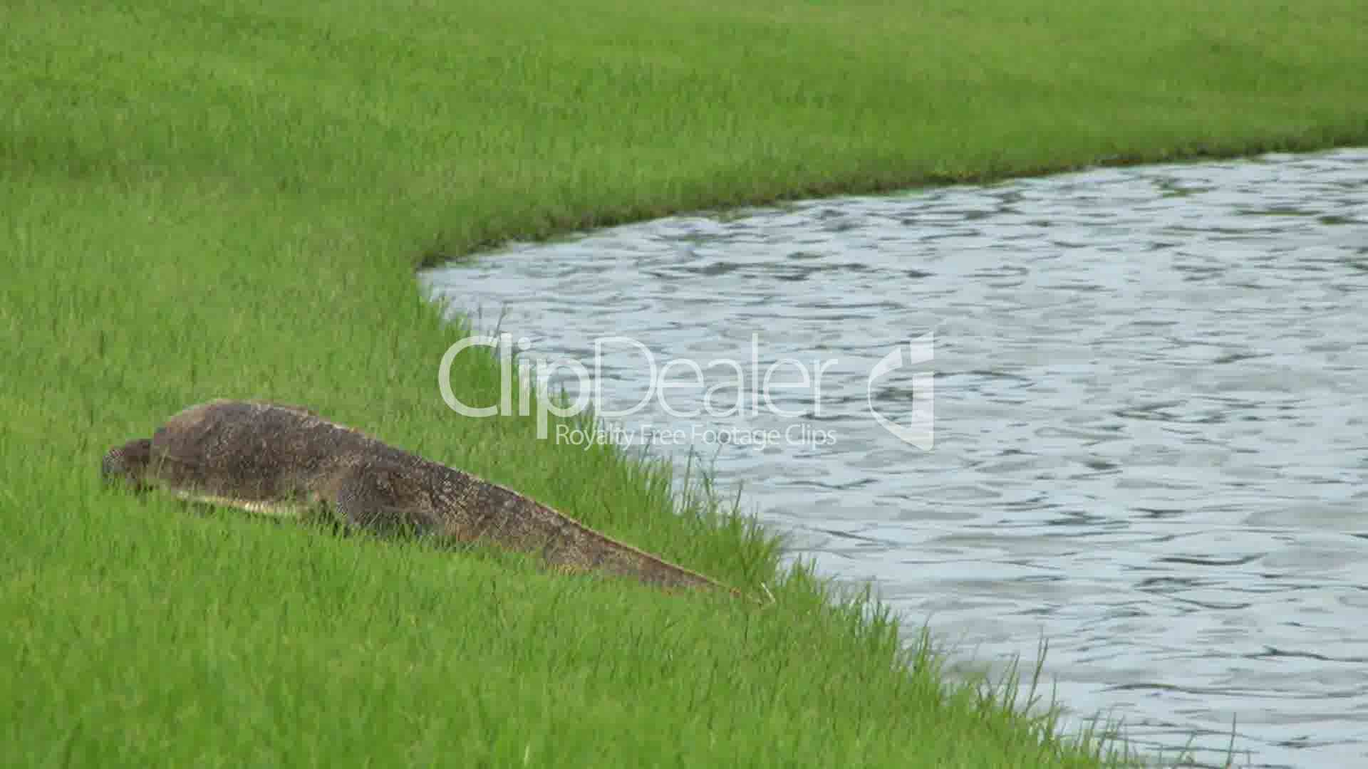 Monitor lizard cooling off in a pond royalty free video for Pond dealers