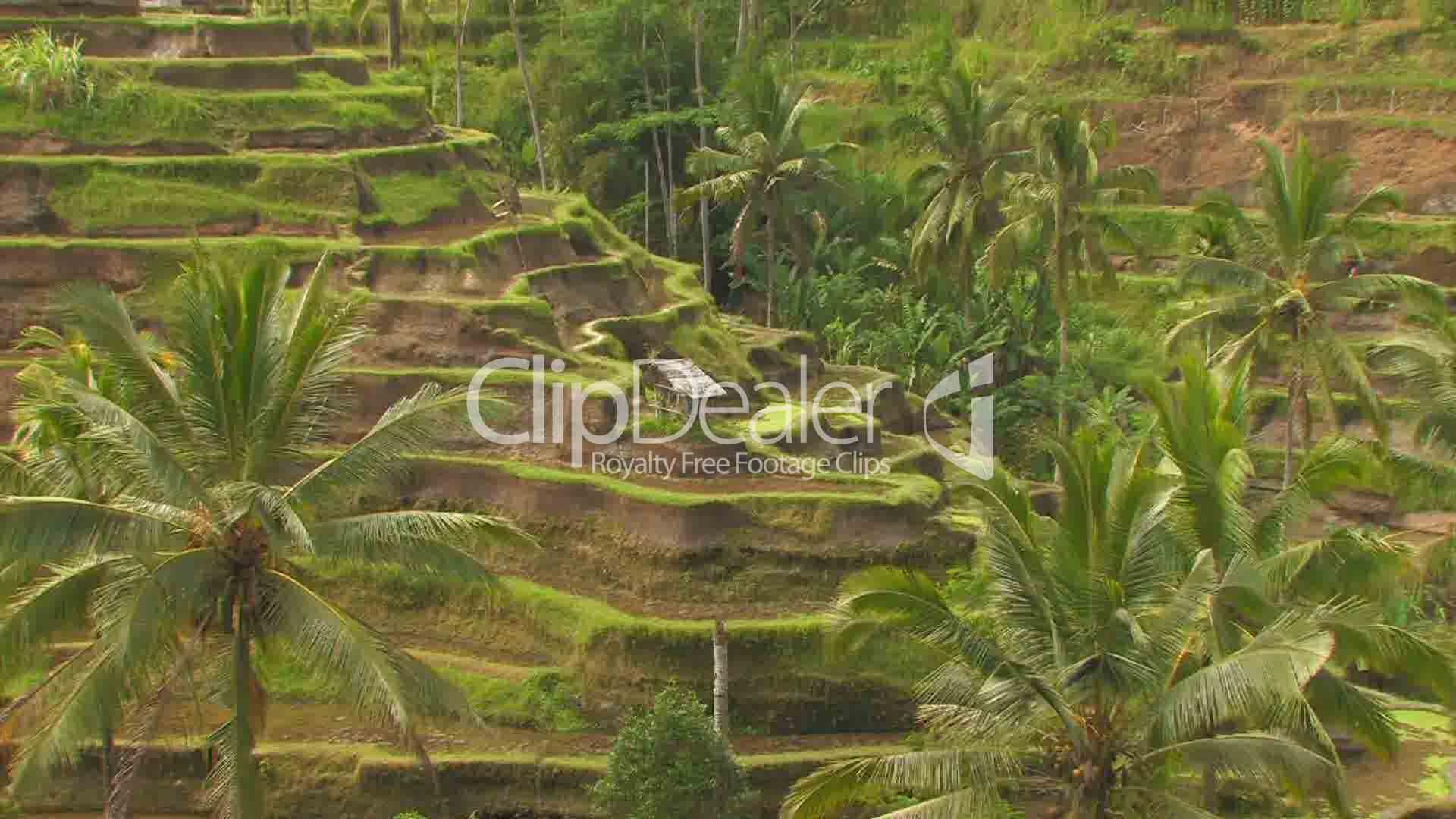 Terraced rice paddy fields bali royalty free video and for Terrace farming model