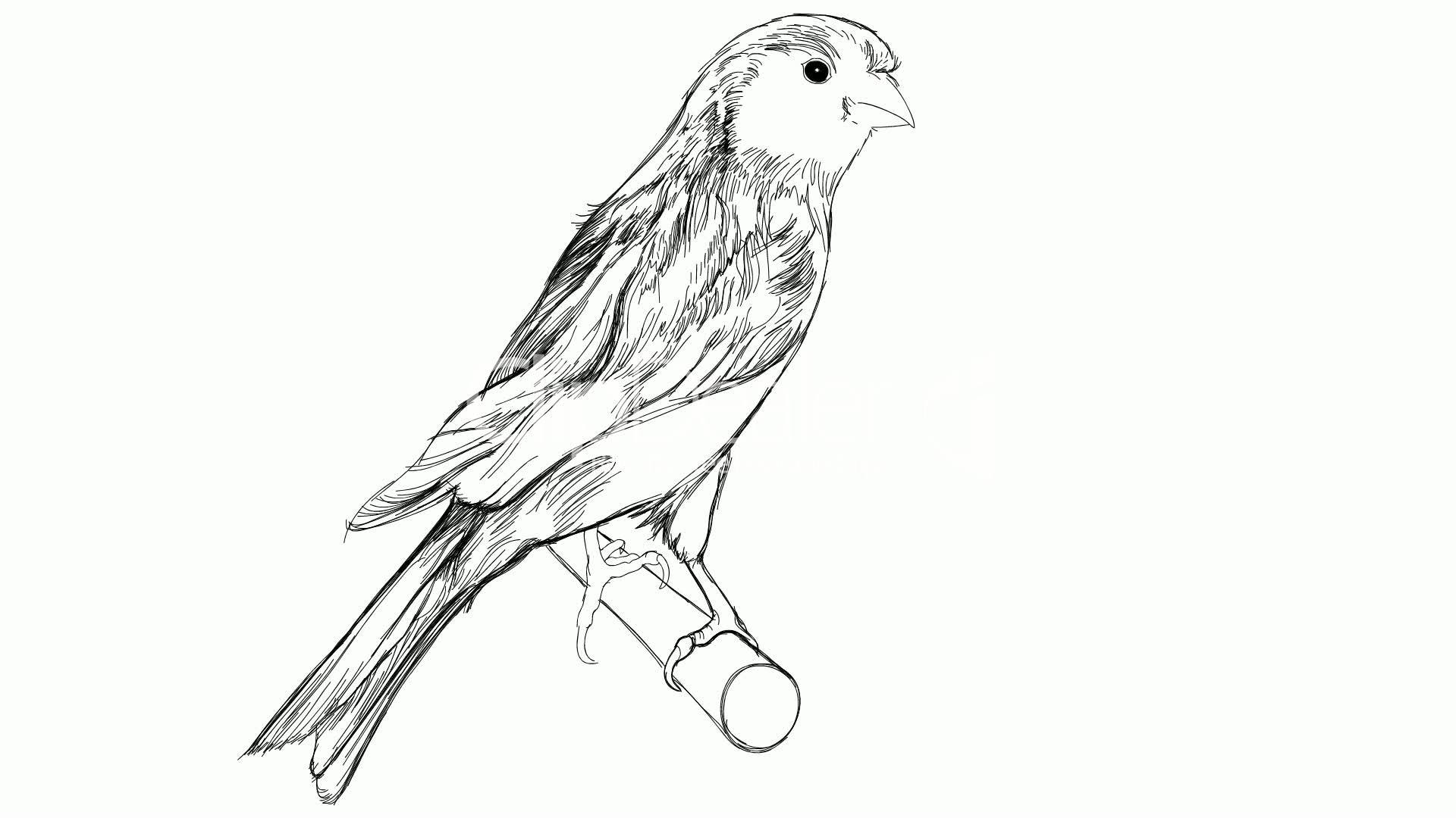 Sketch Of A Canary Bird Sitting On A Branch Royalty-free Video And Stock Footage