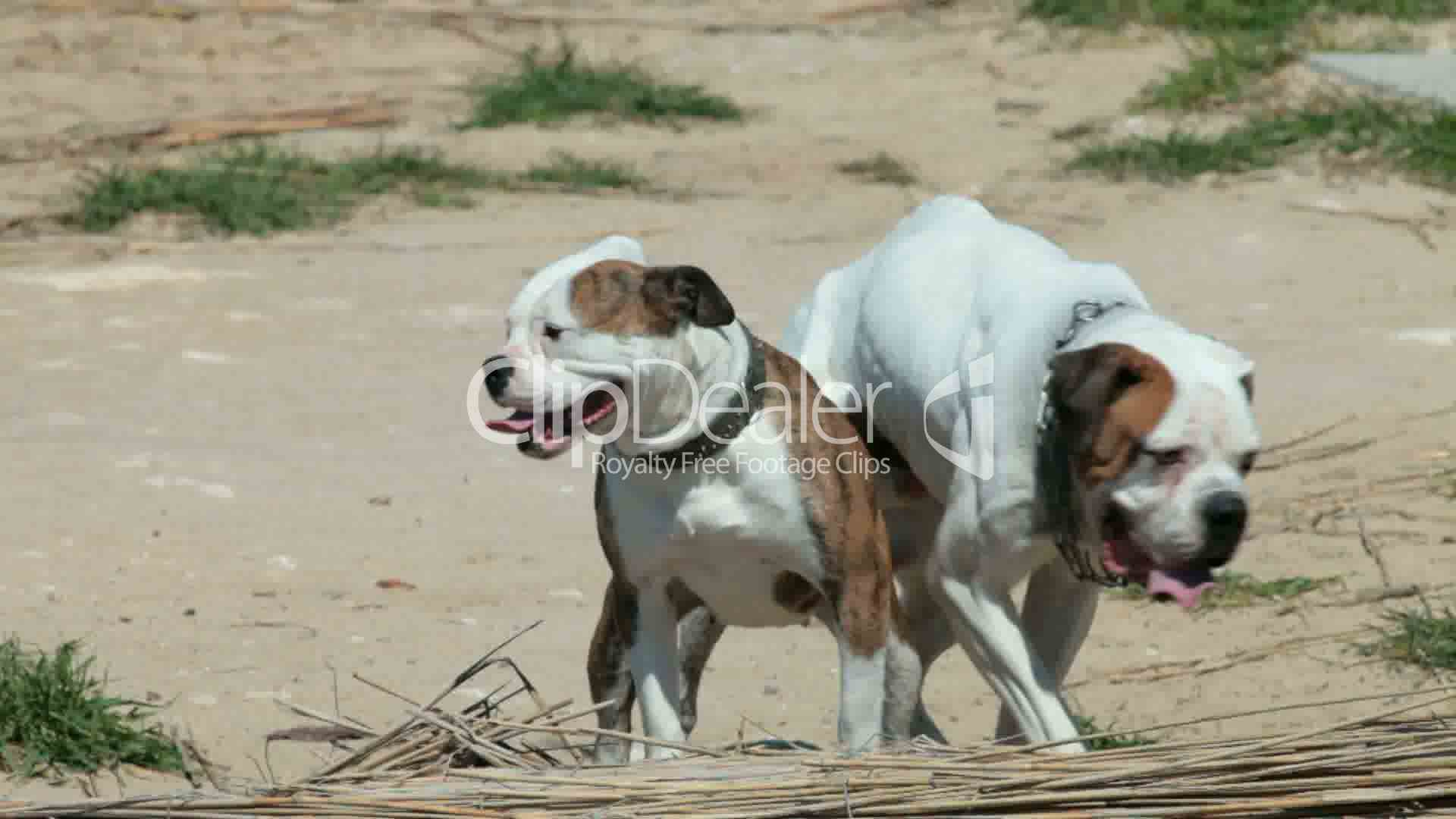 dogs mating: Royalty-free video and stock footage