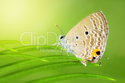 Common Caerulean Butterfly (Jamides celeno)