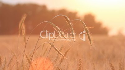 Closeup of wheat on breeze - countryside landscape background