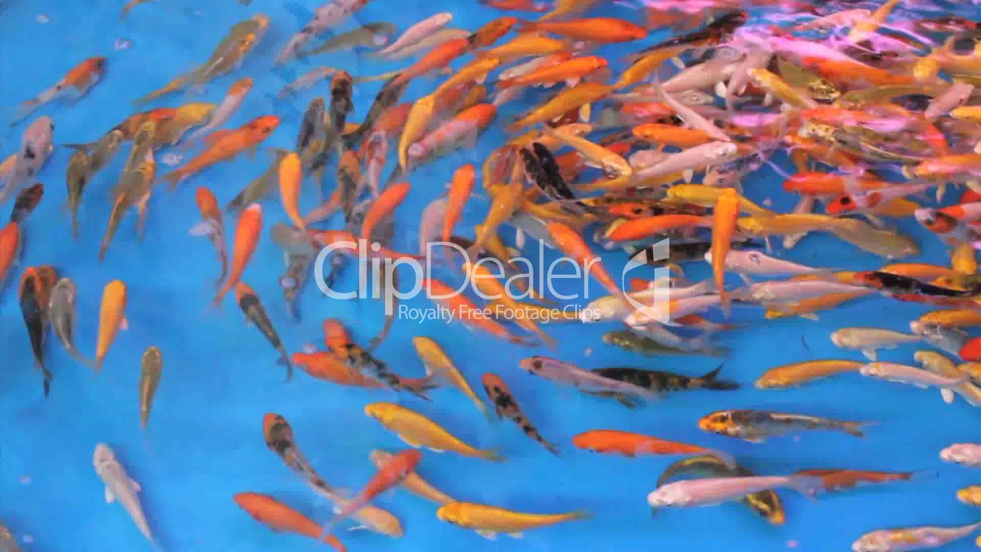Colorful tropical fish swimming in circles royalty free for Fish swimming video
