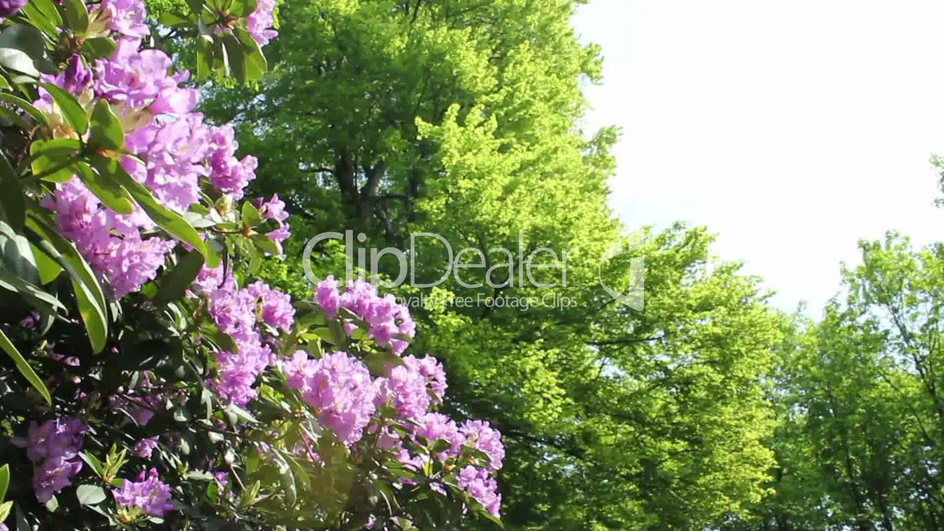an ecology of the rhododendron Catawba rhododendron is a large-leaved, evergreen shrub reaching 6 to 10 feet high with large, lilac-purple flowers borne in clusters (trusses) in mid-to late spring.