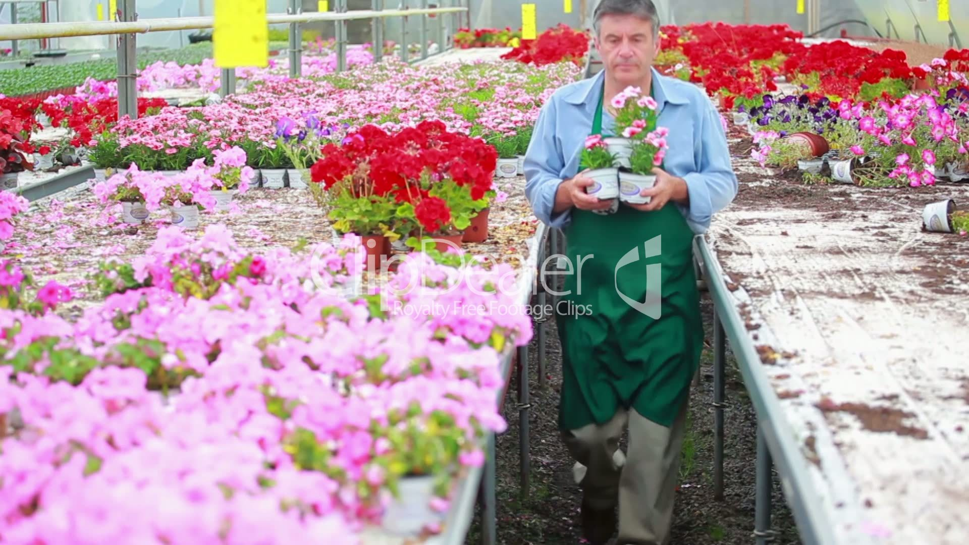Greenhouse gardening 099 - Gardener Carrying Plants Royalty Free Video And Stock Footage