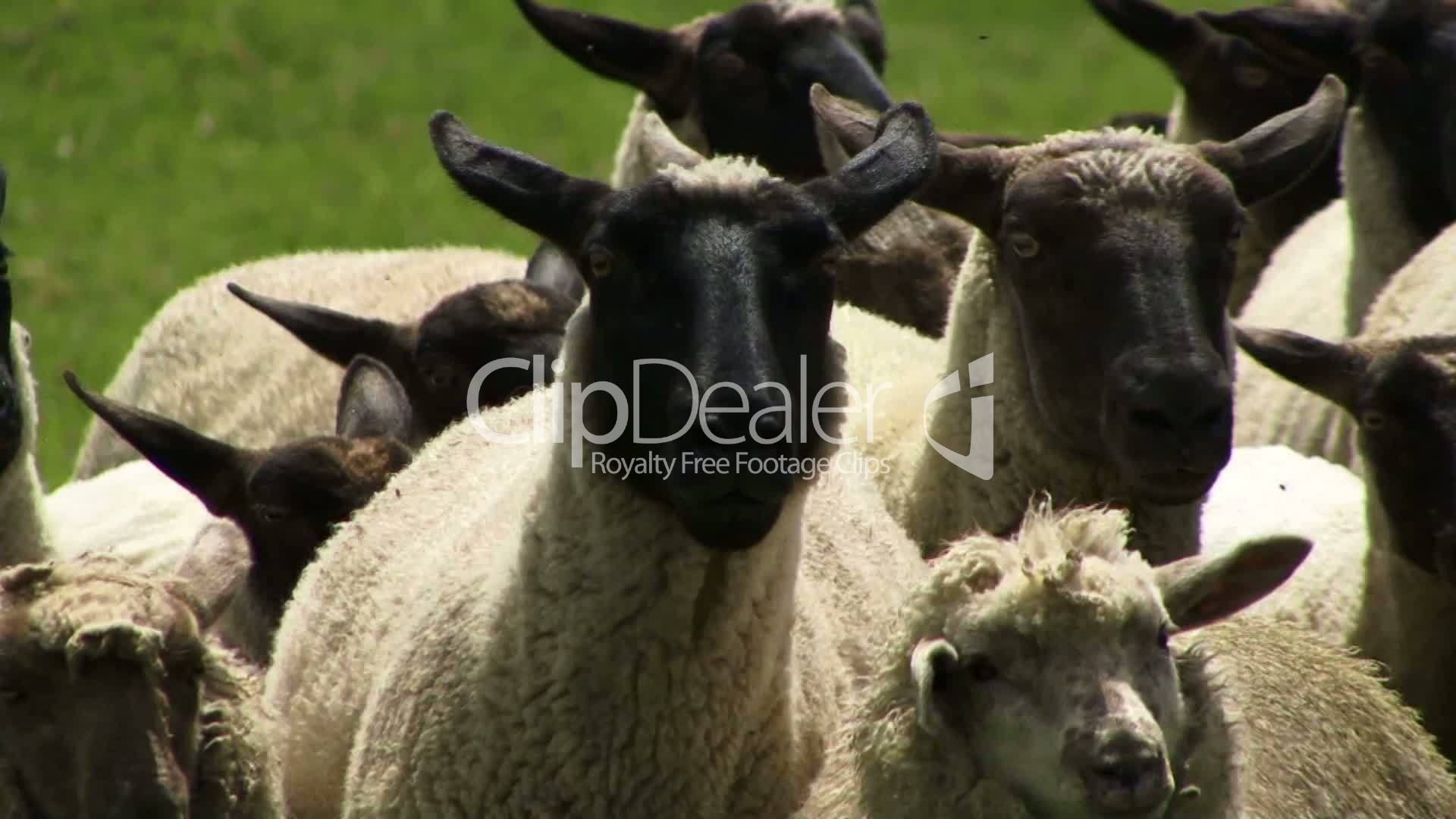 Sheep In Flock Running To Camera Royalty Free Video And