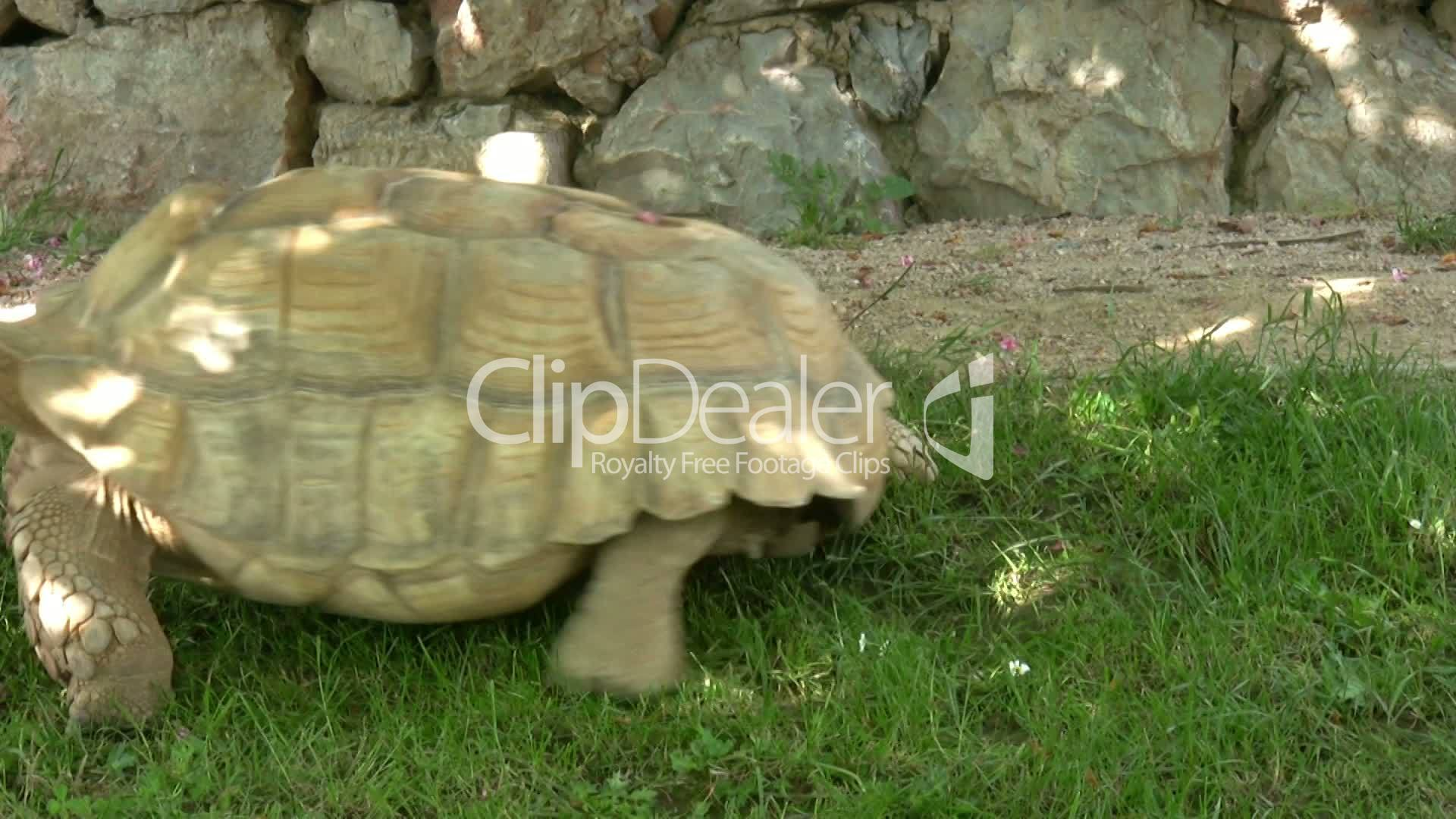 turtle walking slowly to lose weight