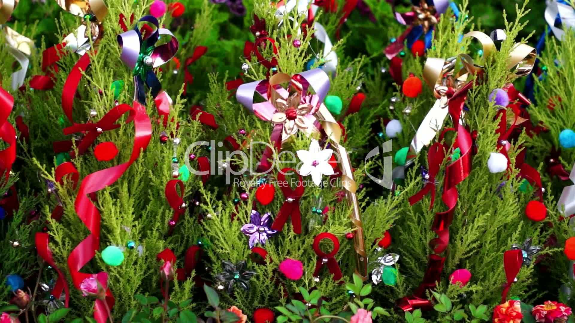 Little Christmas Trees Dolly Royalty Free Video And Stock