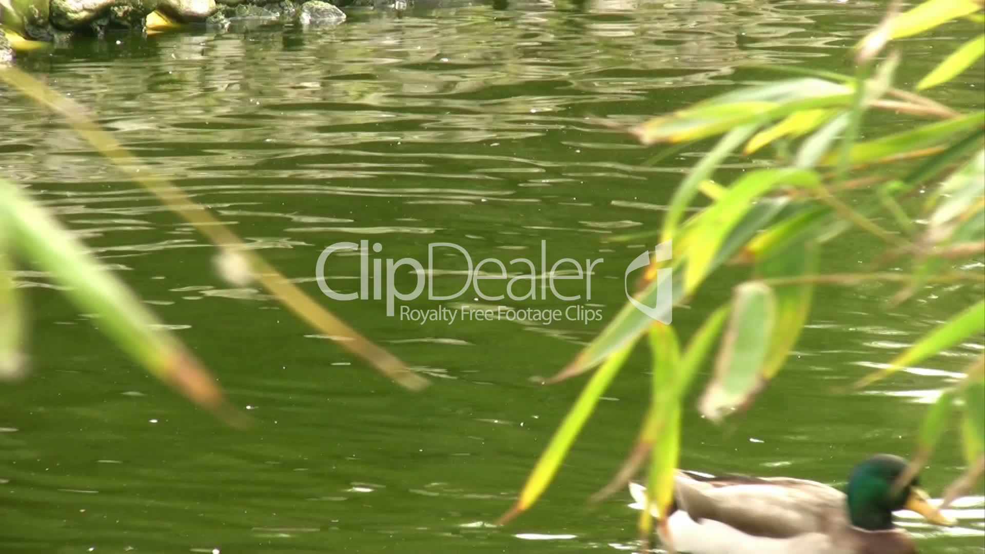 Ducks swimming in pond: Royalty-free video and stock footage