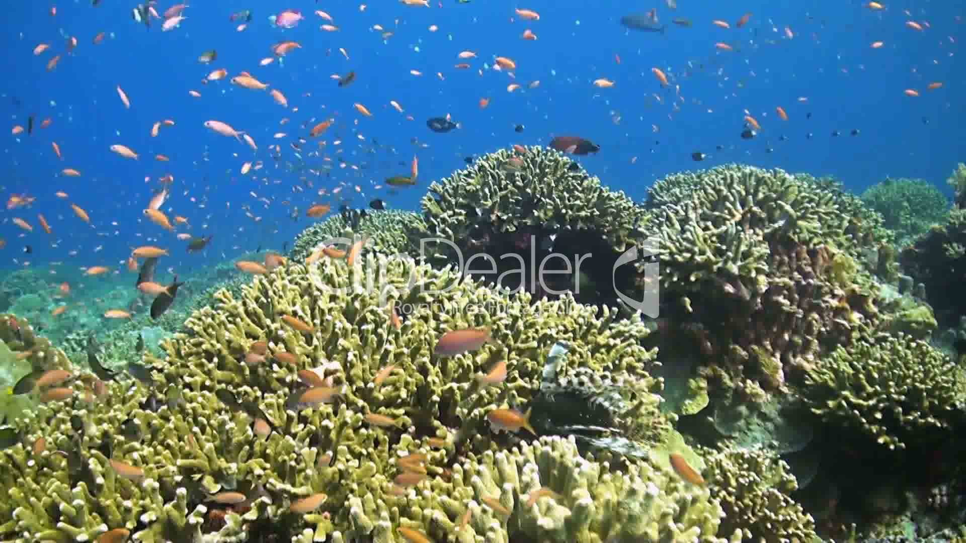Coral reef with plenty of fish royalty free video and for Www plenty of fish com