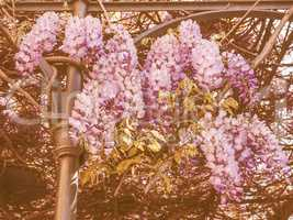 Retro looking Wisteria