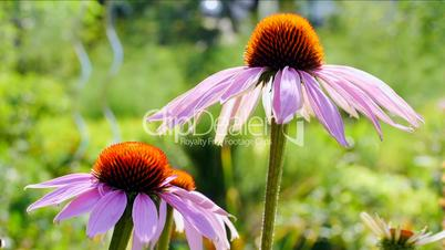 echinacea videos about echinacea at clipdealer. Black Bedroom Furniture Sets. Home Design Ideas