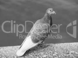 Pigeon bird animal