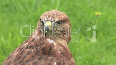 Adler (Close Up)