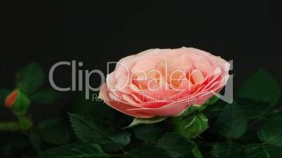 Rose öffnet sich (Zeitraffer)