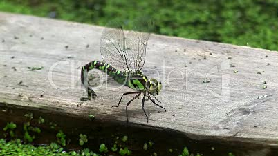 Libelle am Tümpel