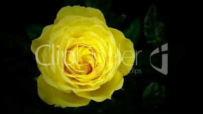 Gelbe Rose öffnet sich (Zeitraffer)