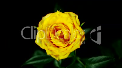aufblühende Rose