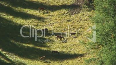 Hirsche im Val Trupchun