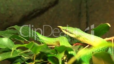 Vietnamesische langnasen Schlange