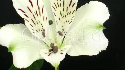 Aufgehende peruanische Lilie