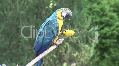 Papagei blaugelb
