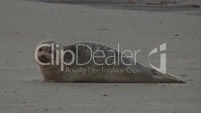 Kranker junger Seehund / Robbe