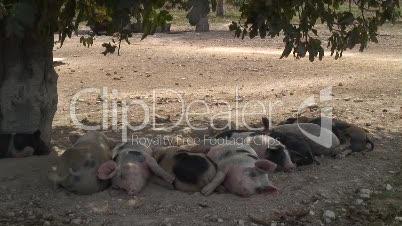 Hausschweine bei San Joan