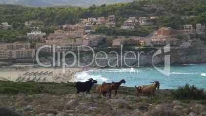 Ziegenherde über Bucht