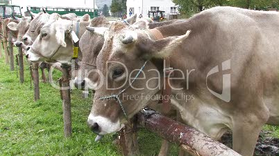 Kuh, Rind, Landwirtschaft, agriculture, cattle, cow