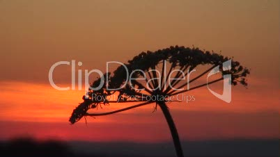 Wilde Möhre bei Sonnenuntergang