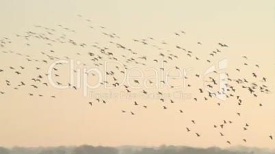 fliegende Weißwangengänse