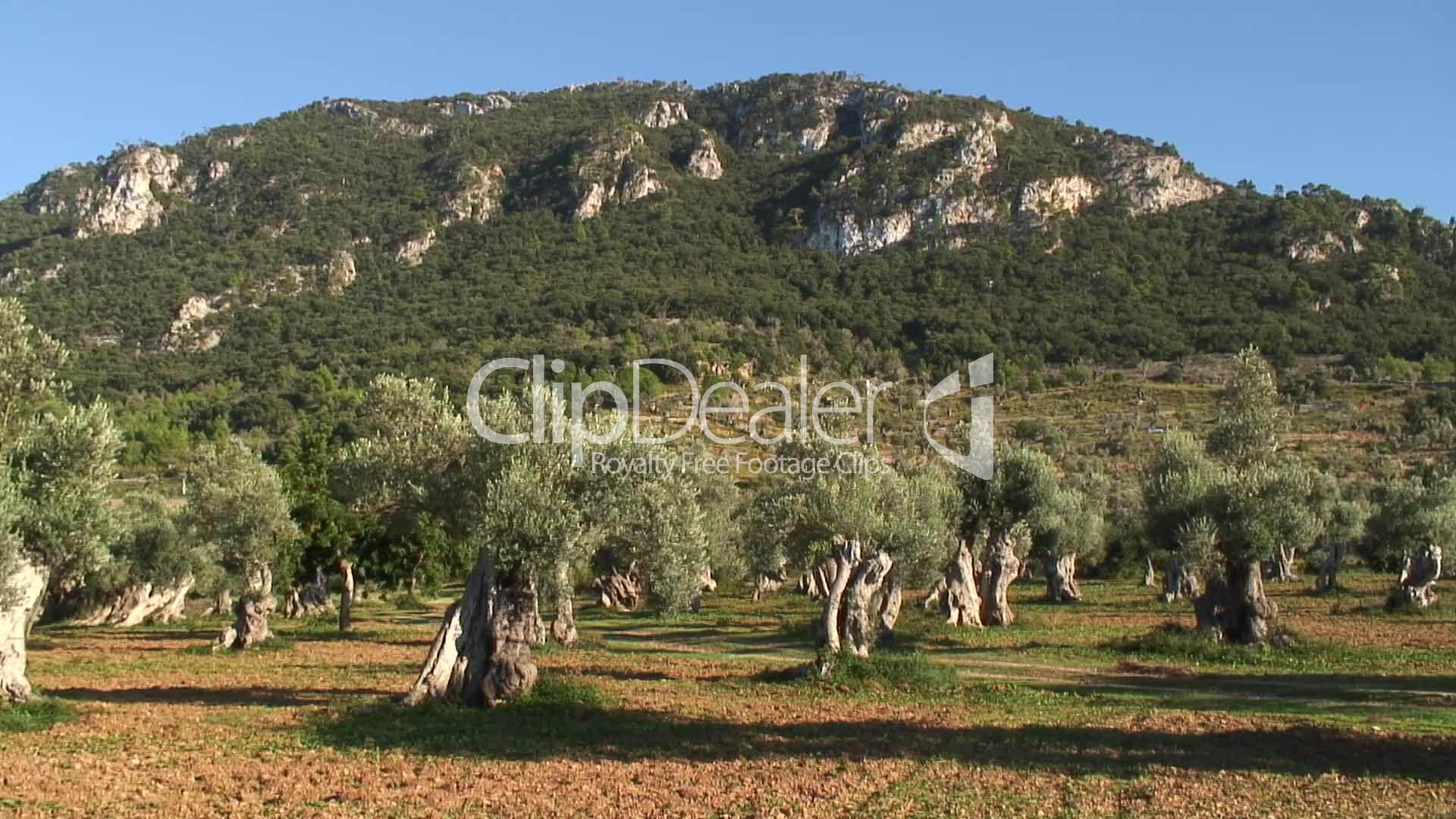 alte olivenplantage an der nordwestk ste von mallorca. Black Bedroom Furniture Sets. Home Design Ideas