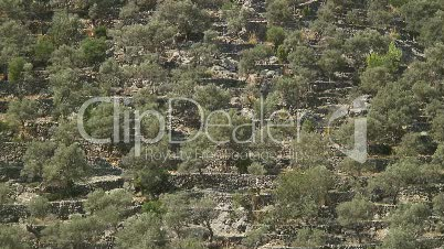 Olivenplantage  bei Monestir de Lluc
