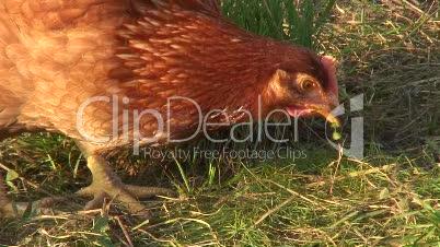 Einne Henne beim Picken
