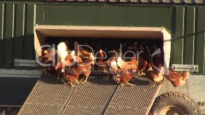 Hennen am Hühnerstall