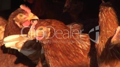 Hennen im Hühnerstall