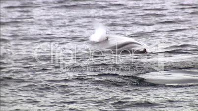 Wal taucht