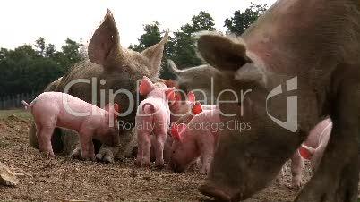 Hausschwein säugt Ferkel (1)