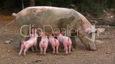 Hausschwein säugt Ferkel (5)