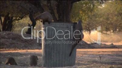 Zebramangusten suchen in einer Mülltonne nach Futter