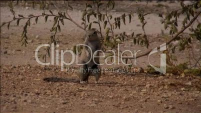 Erdhörnchen schaut umher und rennt weg.