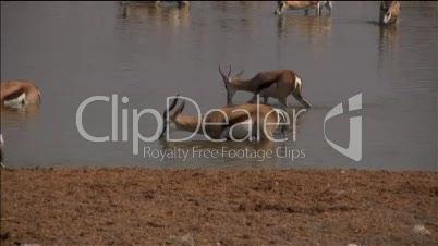 Mehrere Impalas trinken in einem Wasserloch