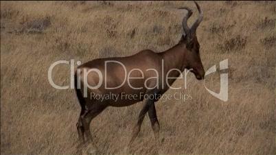 Antilope läuft durch Bild.