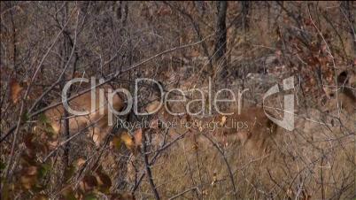 Mehrere Antilopen laufen im Busch vor der Kamera entlang