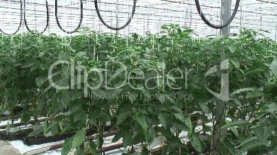 Treibhaus für Paprika und Peperoni