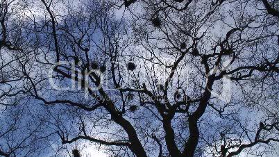 Saatkrähen im Baum