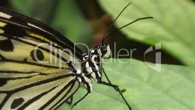 Idea leukonoe Schmetterling